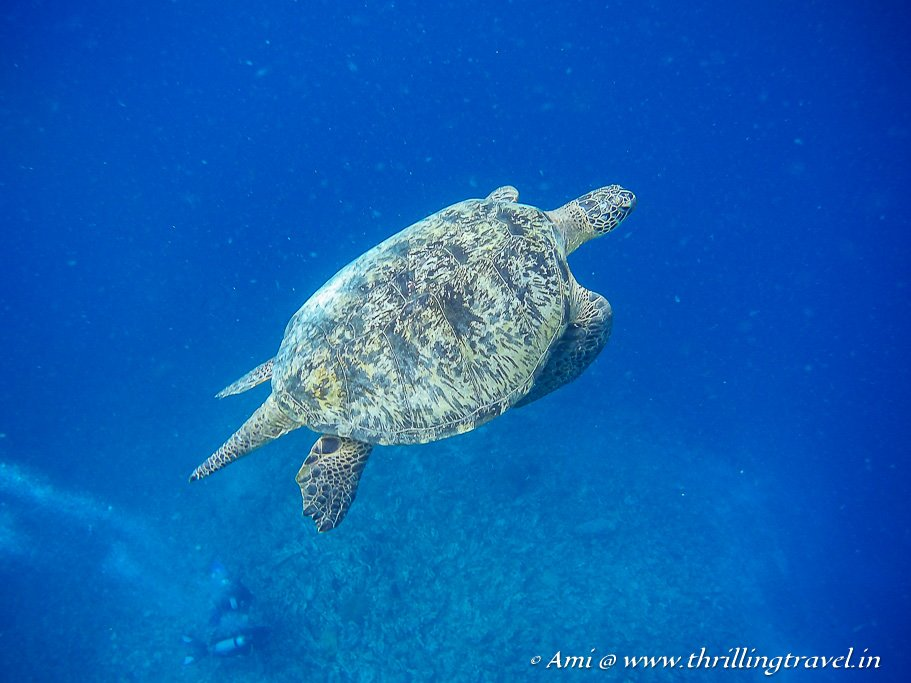 Green turtle at the turtle point near Gili Meno
