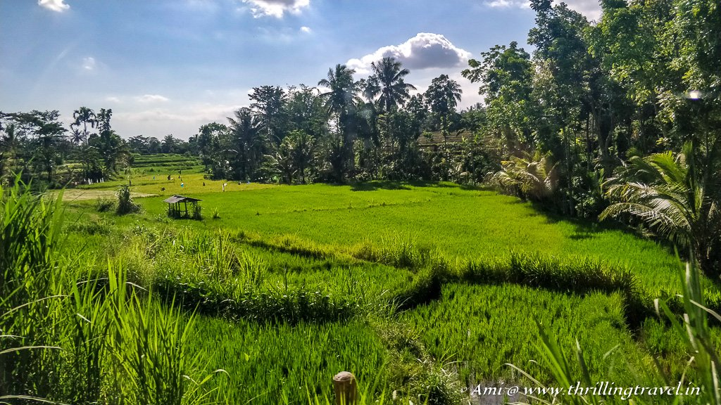 Paddy fields of Lombok along the way