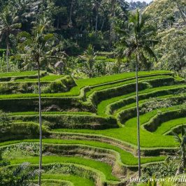 Tegalalang Rice Terraces - one of the most photographed rice terraces of Bali