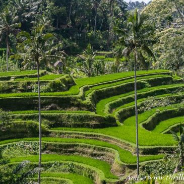 Luwak Coffee, Bali Swings & Tegalalang Rice Terraces: My slice of Ubud Attractions