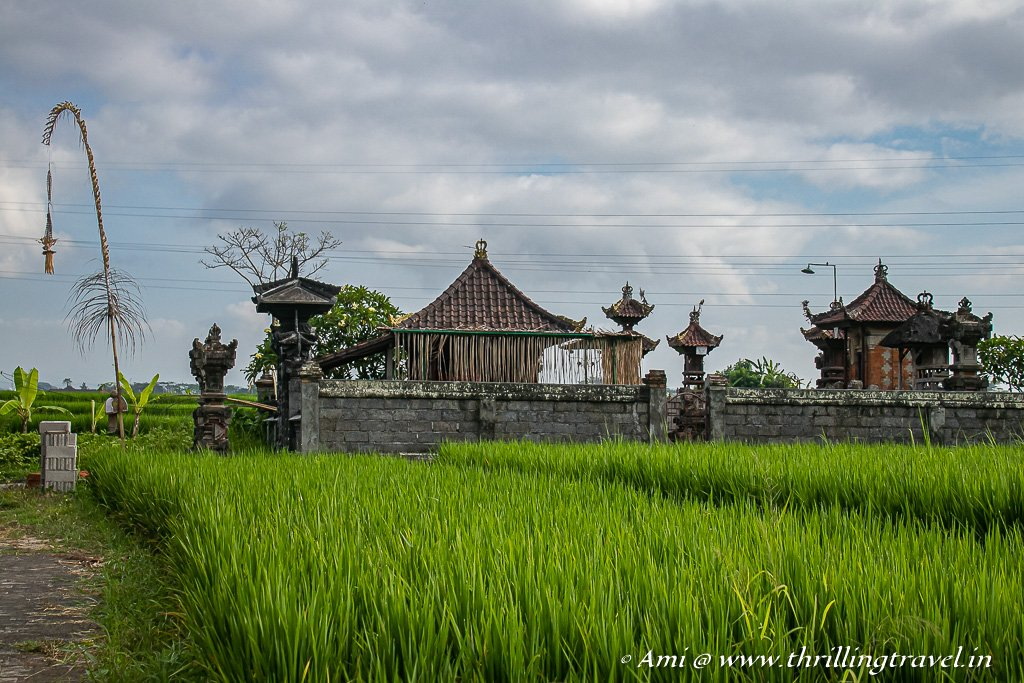 A walk through the Balinese Rice Fields to discover its true flavor