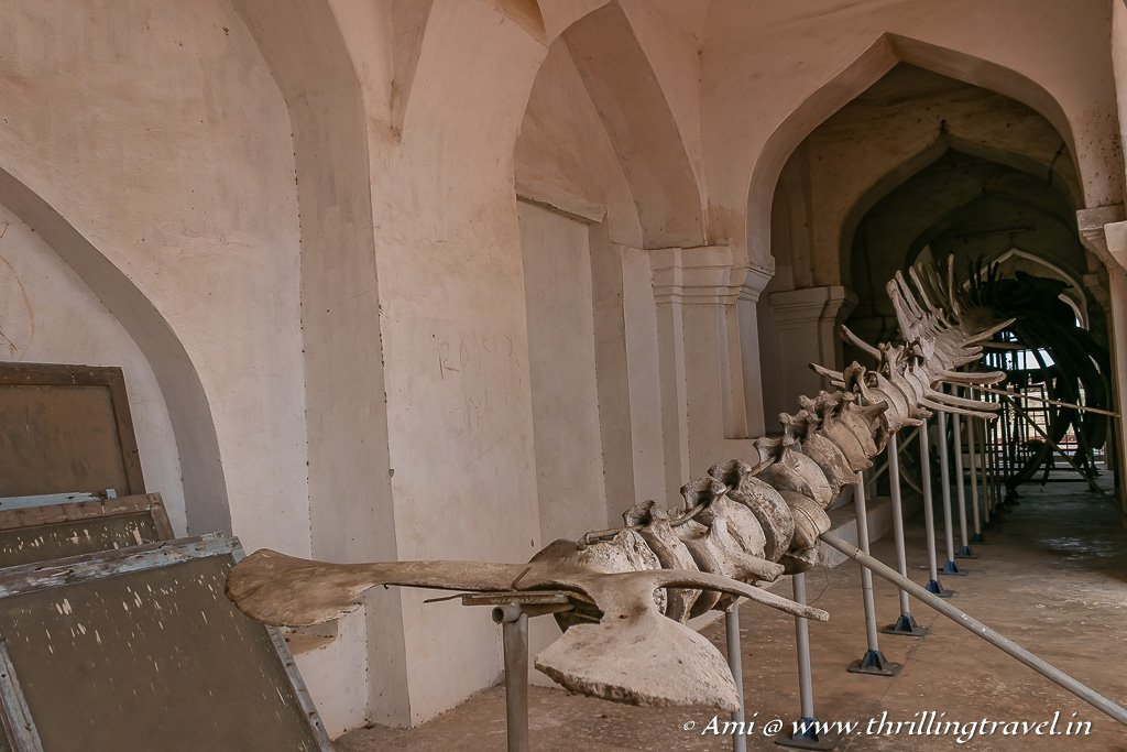 The giant skeleton of a whale kept in the Arsenal Tower