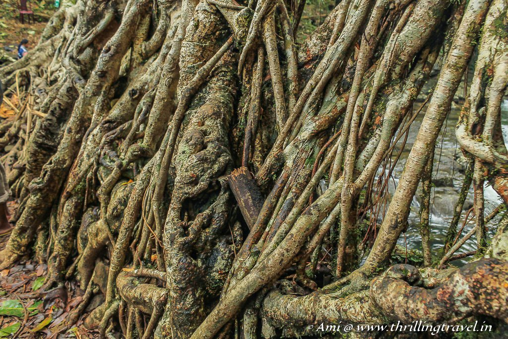 Roots of the Living Root Bridges diverted through the trunks of the Betel Nut trees, strengthened by stones and sticks