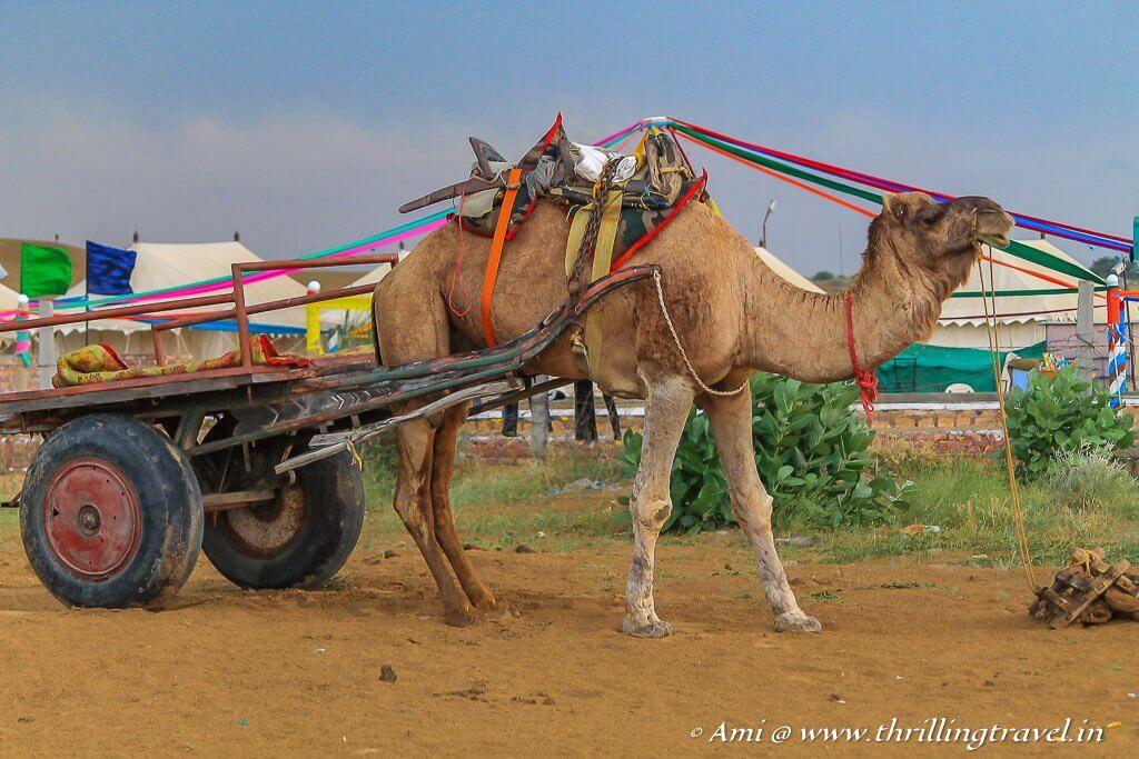 Jaisalmer Camel Safaris - ethical or not?
