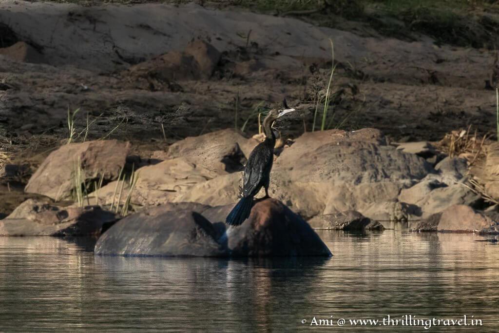 A black cormorant basking in the sun in Galibore