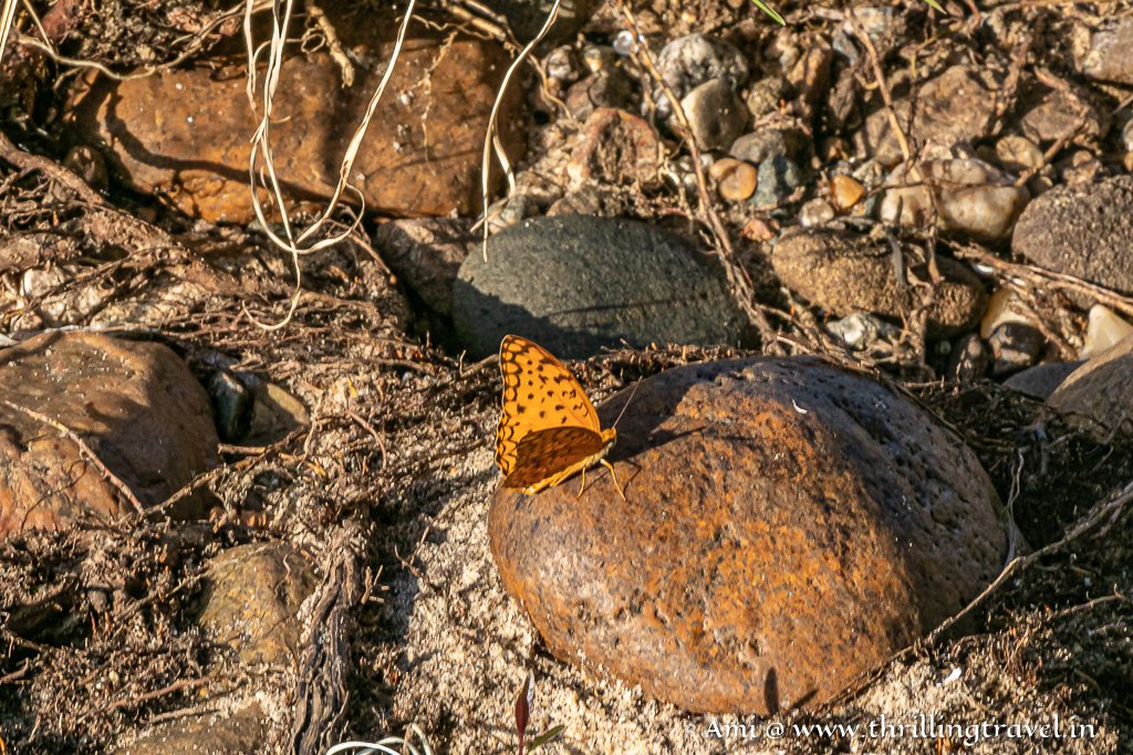 The common leopard butterfly trying to hide on a stone
