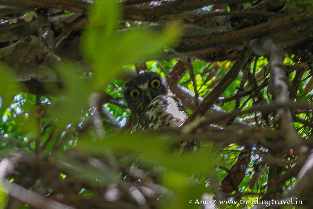 Spotted Owl at Galibore Jungle Resort