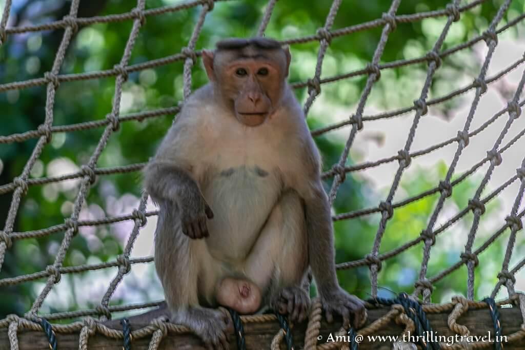 Monkeys  - regular inhabitants at the Galibore Nature Camp