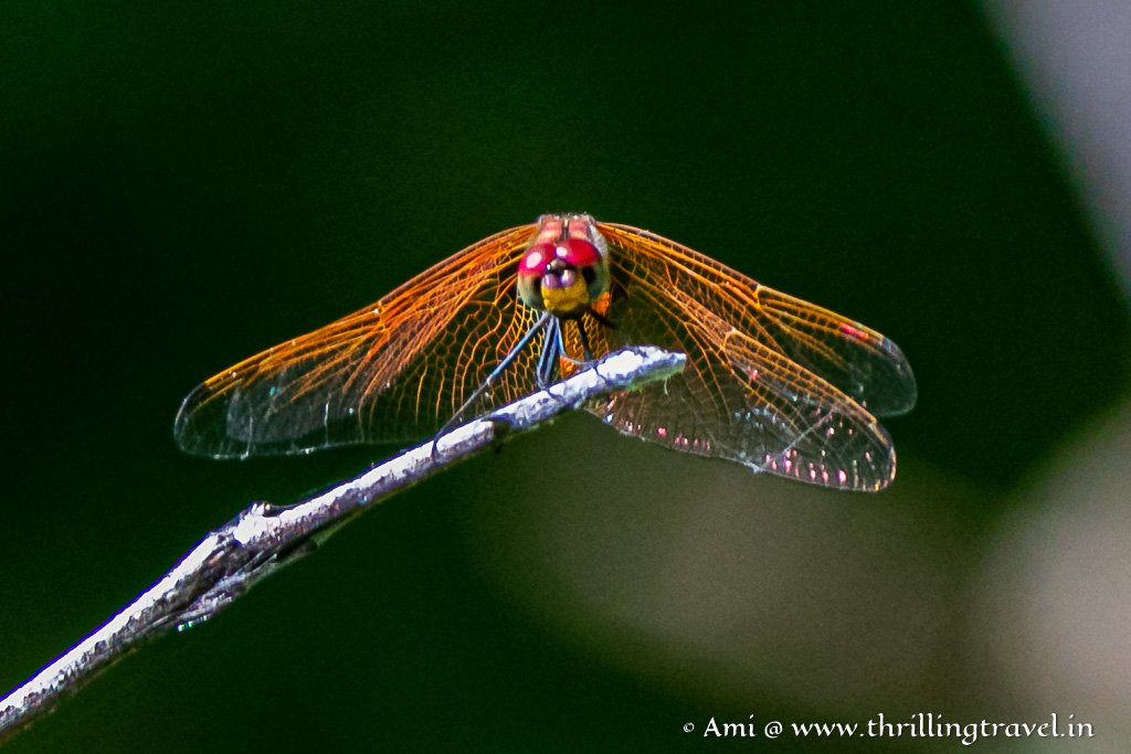 An Orange dragonfly