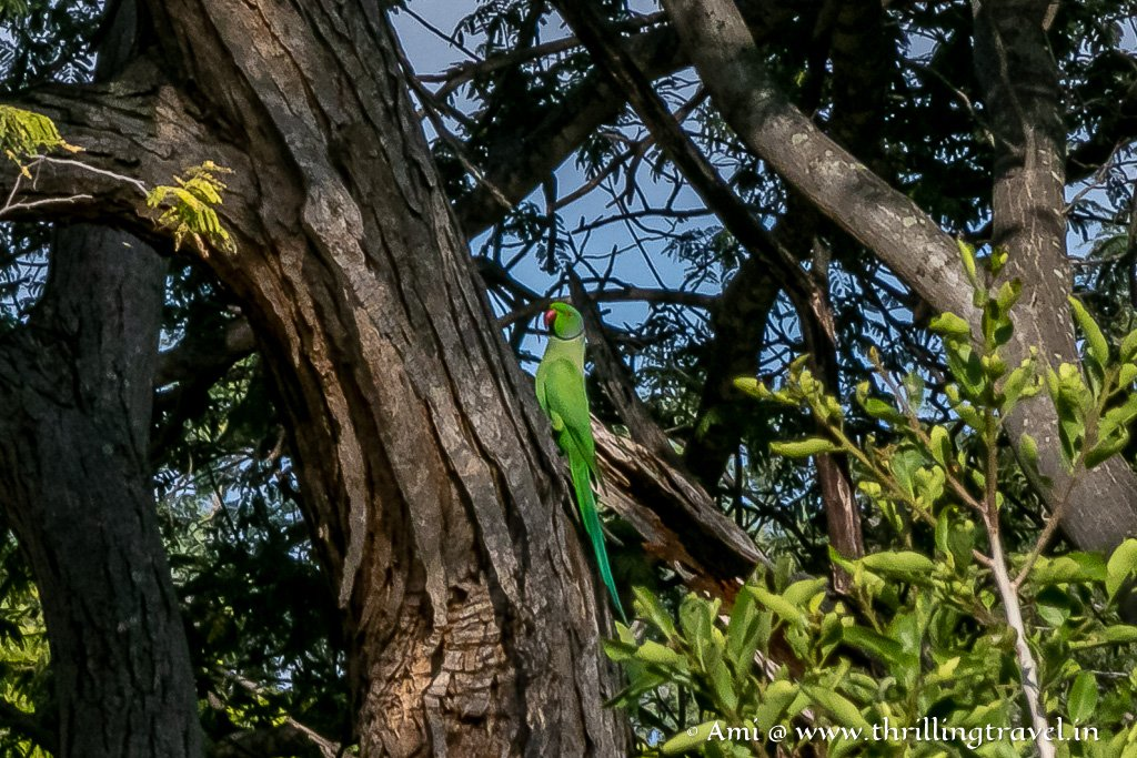 One of the Galibore Birds- the Rose-ringed Parakeet