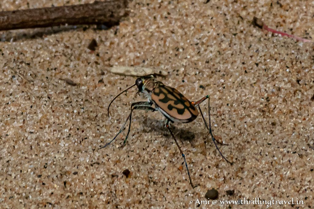 Close up of the Tiger beetle at the Galibore camp