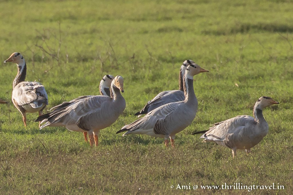 The migratory Bar Headed Geese seen on a safari by boat in Kabini