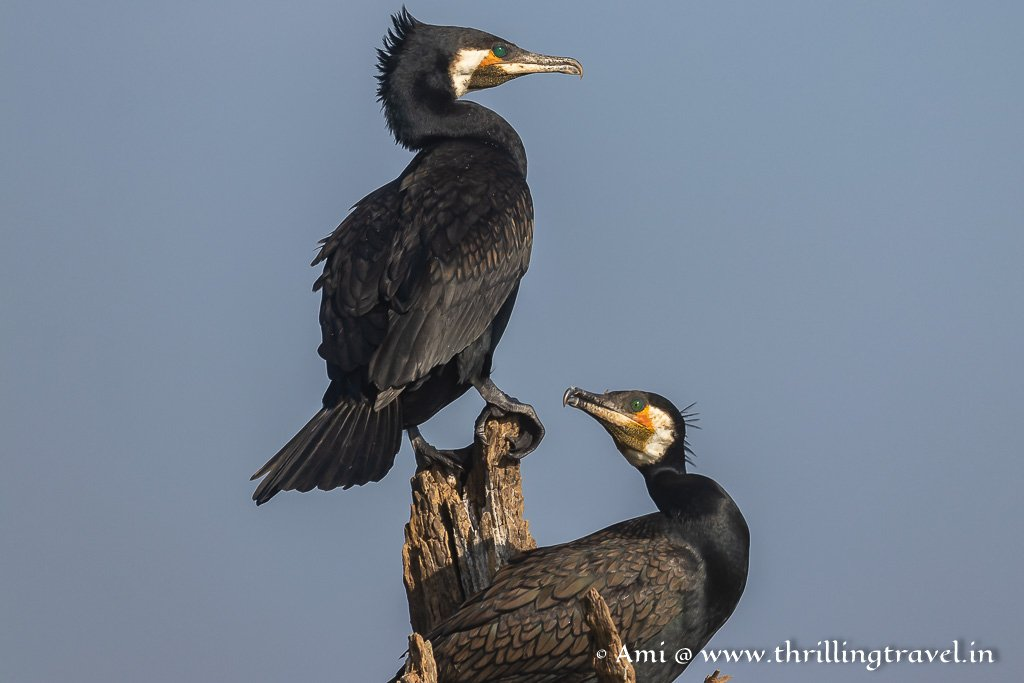 Black cormorants seen during the Kabini Boat Safari
