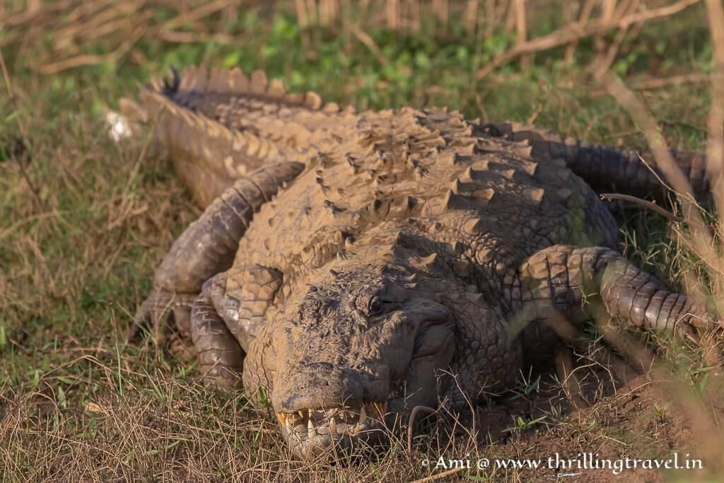 Indian Mugger Crocodile that I saw during my Kabini Boat Safari