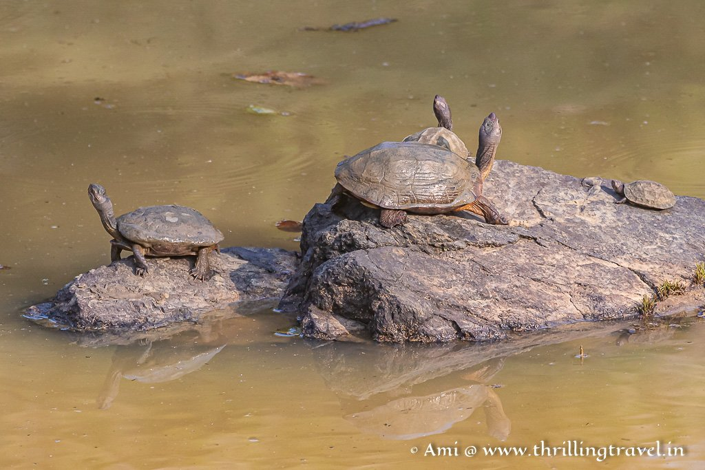 Indian Terrapins  - spotted on a land safari in Kabini