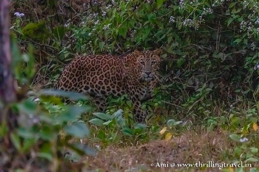 Kabini - a forest known for the amazing leopard sightings