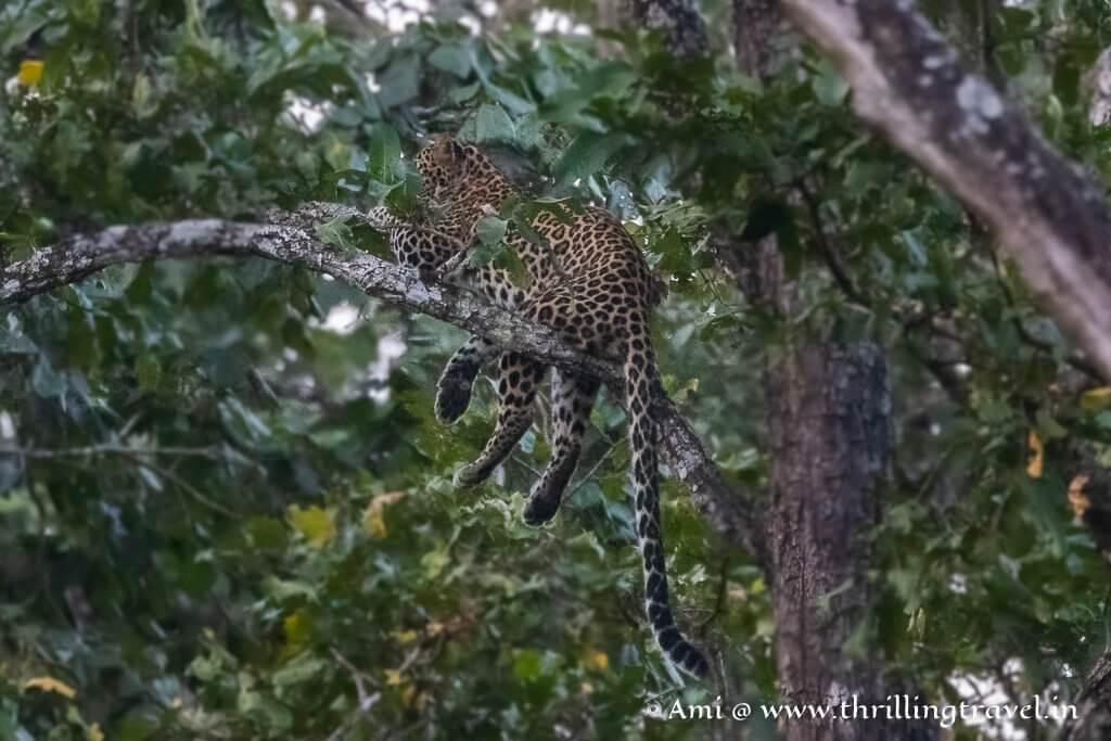 Kaimara Female leopard sitting on a tree - sadly she refused to face us