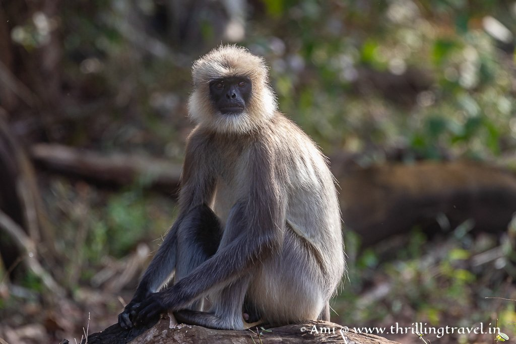 Grey Langurs - commonly found in Kabini Forest