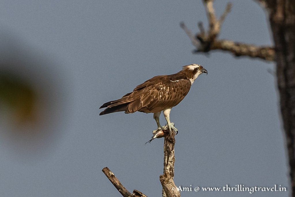 Osprey with its kill - caught during a land safari in Kabini