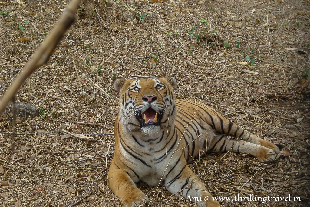 A tiger that I encountered in one of the Kabini Safaris