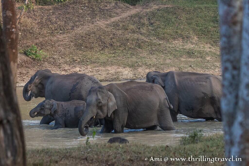 Elephants bathing in a pond in Zone A of Kabini