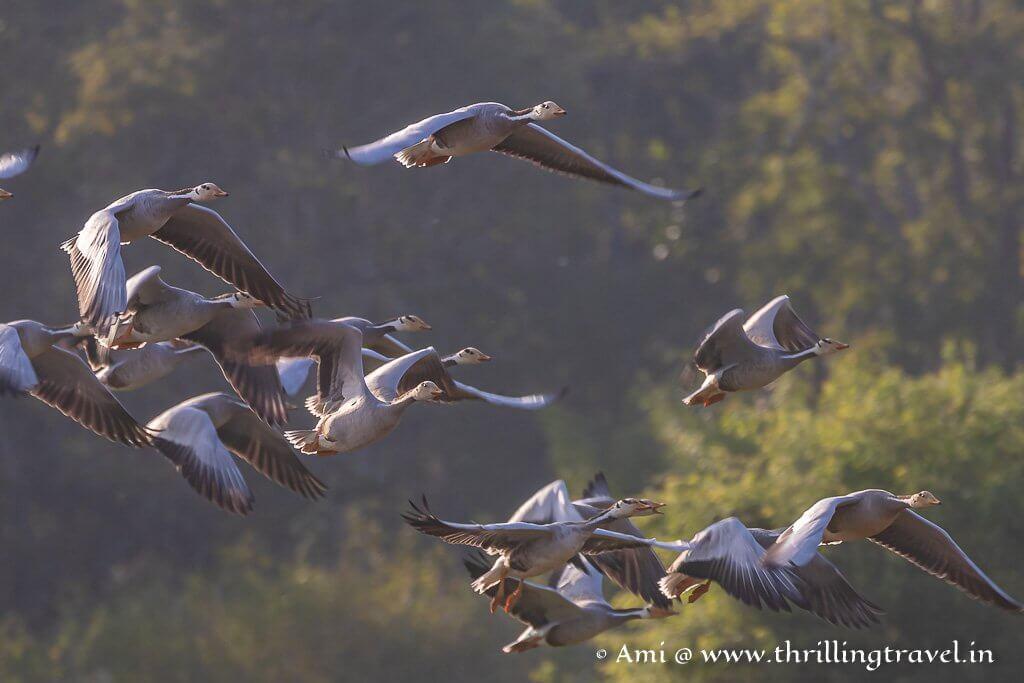 Bar-Headed Geese  in flight - The Migratory birds of Kabini