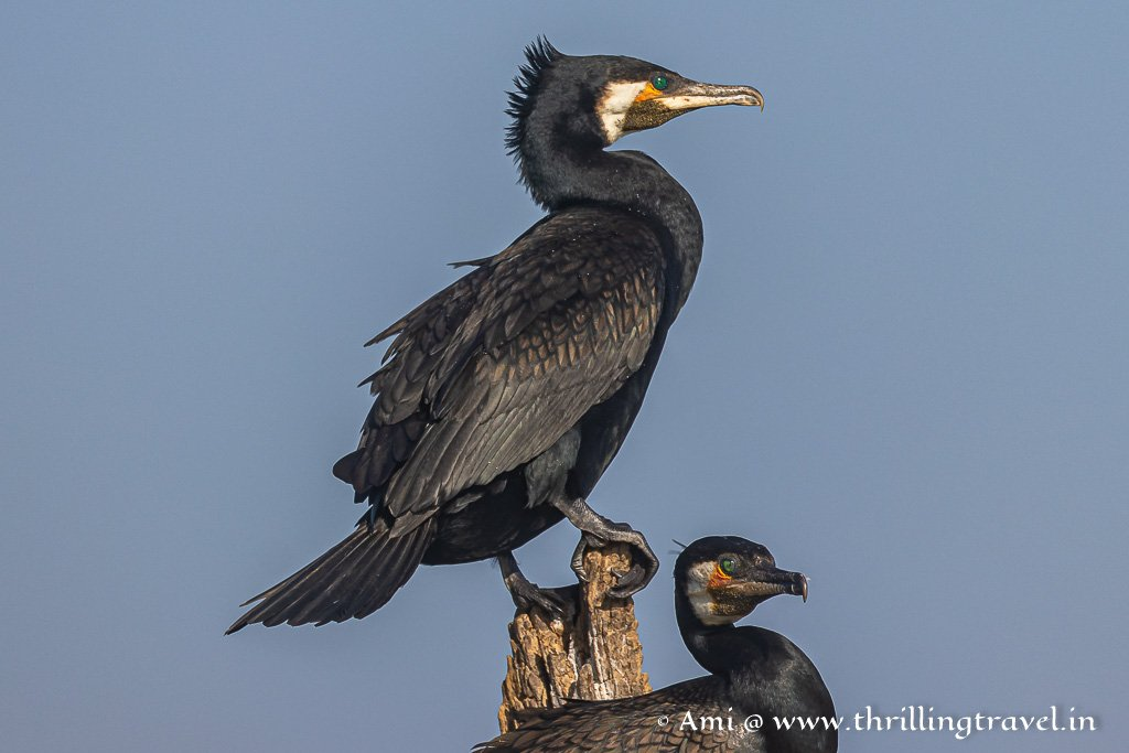 The most common birds spotted along Kabini river- Black Cormorants