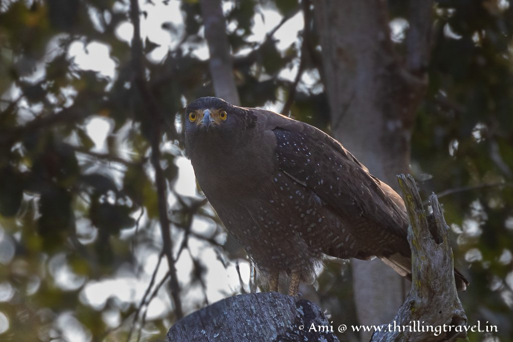 The Crested Serpent Eagle - found during a land safari in Kabini