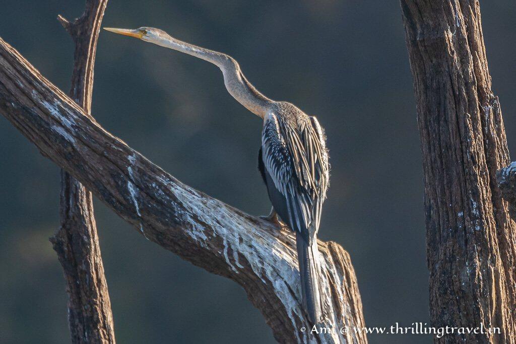 The Darter or the Snake Bird - an aquatic bird of Kabini