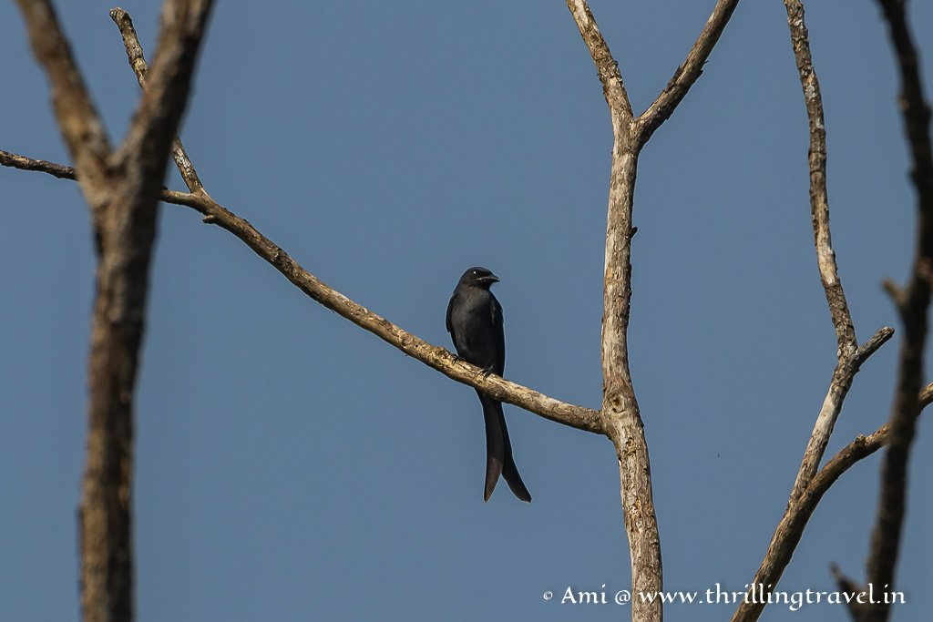 Drongo - The forked tail makes it easy to identify this among the birds of Kabini