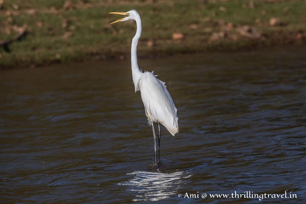 The Kabini aquatic birds - Greater Egret