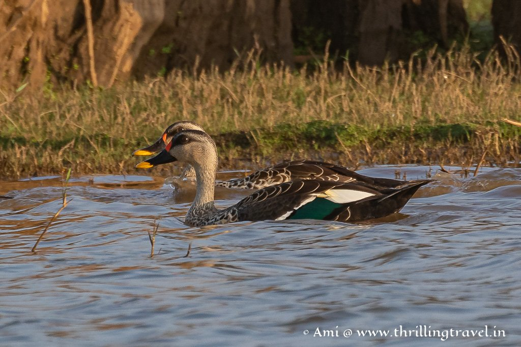 The Indian Spot Billed Ducks of Kabini