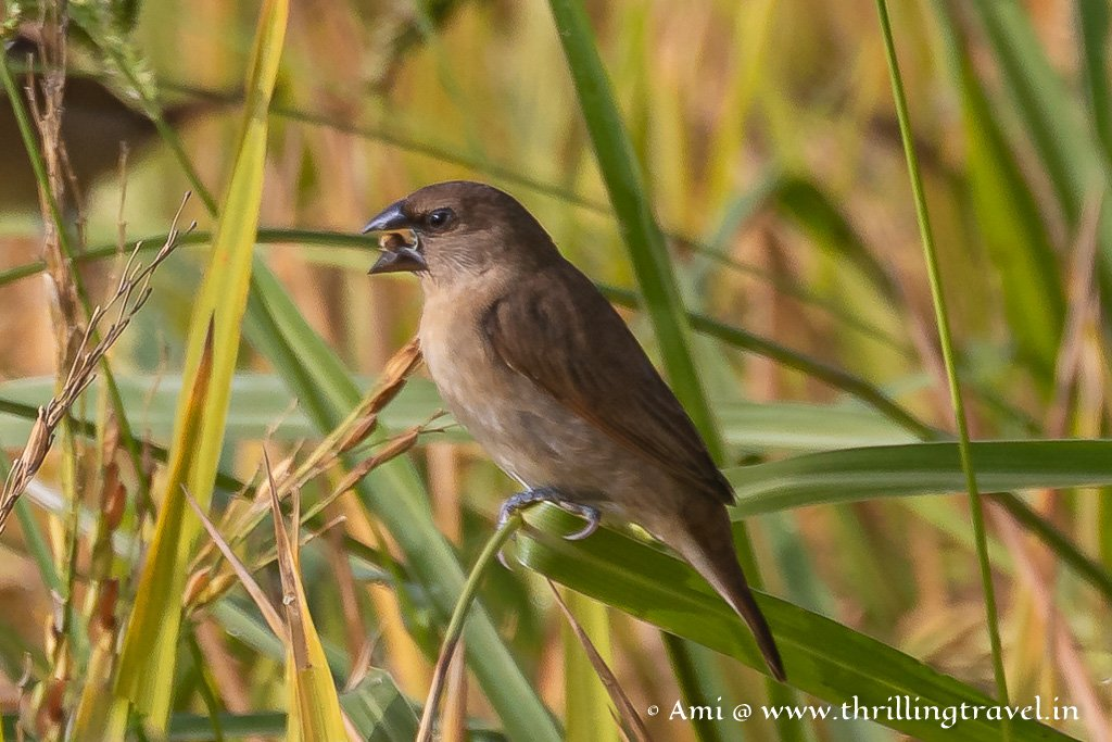 The Indian Silverbill - one of the tiny birds of Kabini
