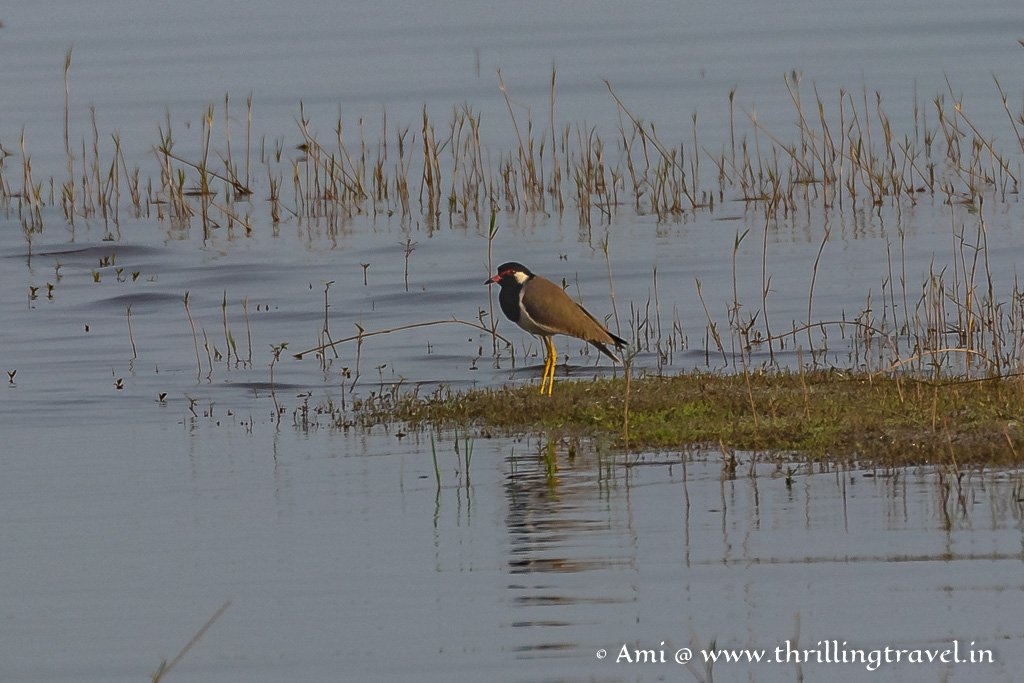 The Red Wattled Lapwings - best seen when on a nature walk in Kabini