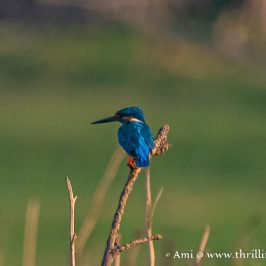 One of the highlights of my birding in Kabini - the Blue eared Kingfisher