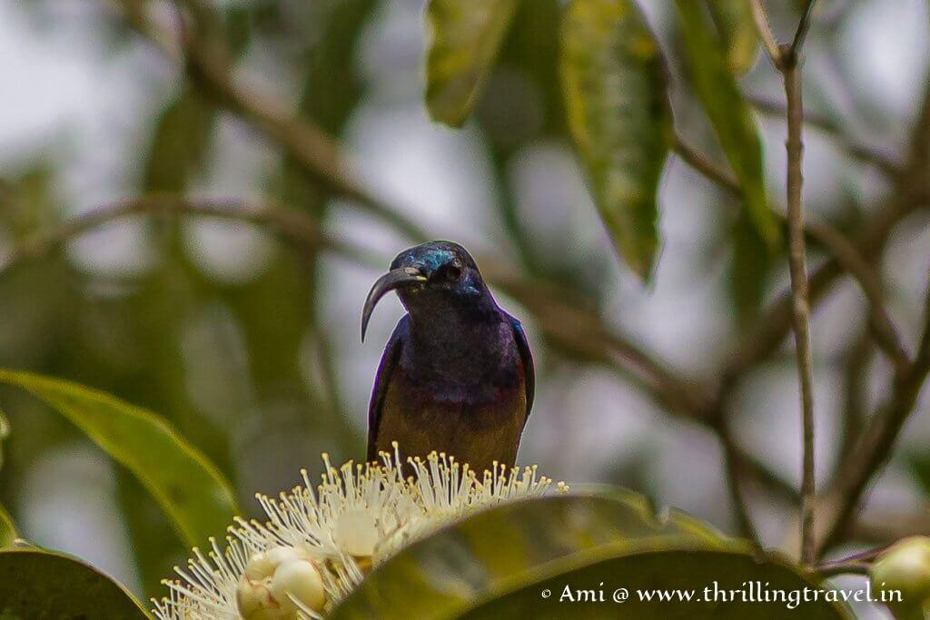 Purple sunbird in Kabini