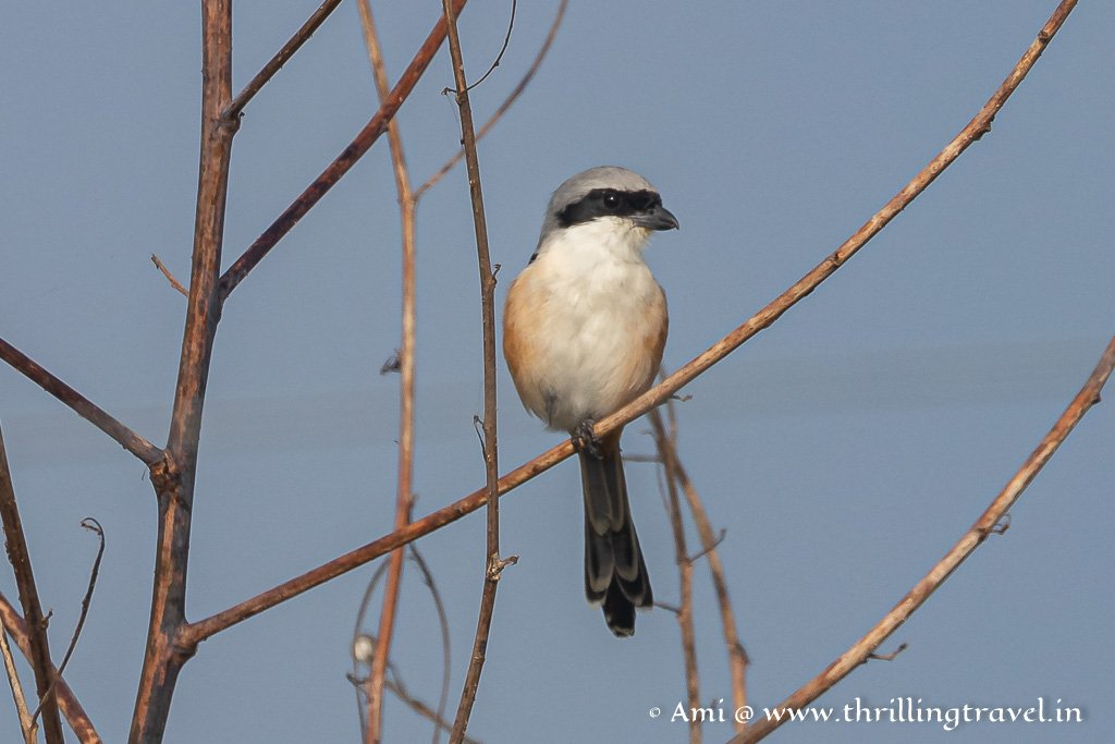 Long tailed shrike - one of the birds of Kabini