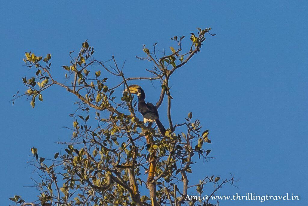 Malabar Pied Hornbill - a delight for birders in Kabini