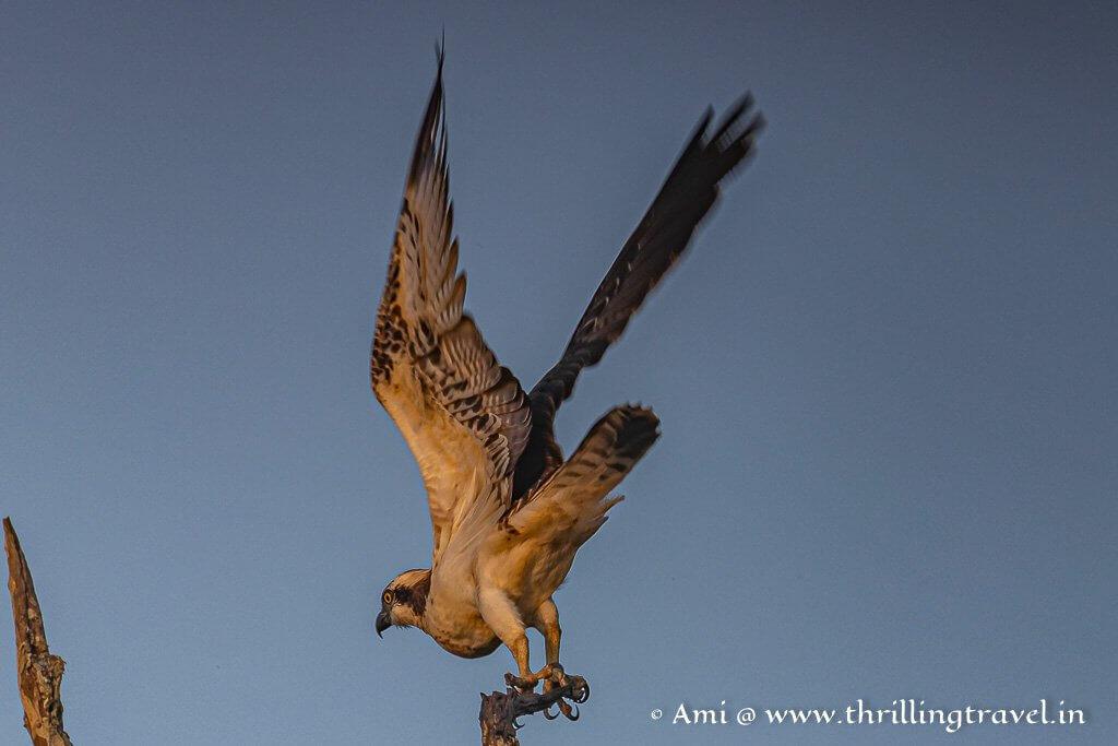 Osprey landing in Kabini