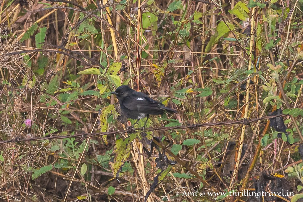 The tiny birds of Kabini - Male Pied Bushchat