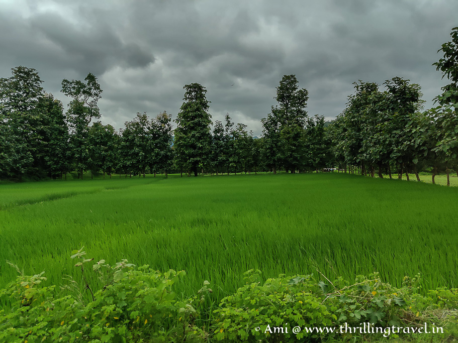 Paddy fields that you will see when you drive to the places to visit near Saputara