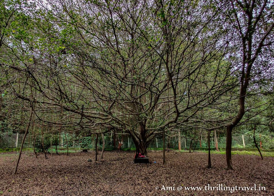 An unusual banyan tree in Waghai botanical garden